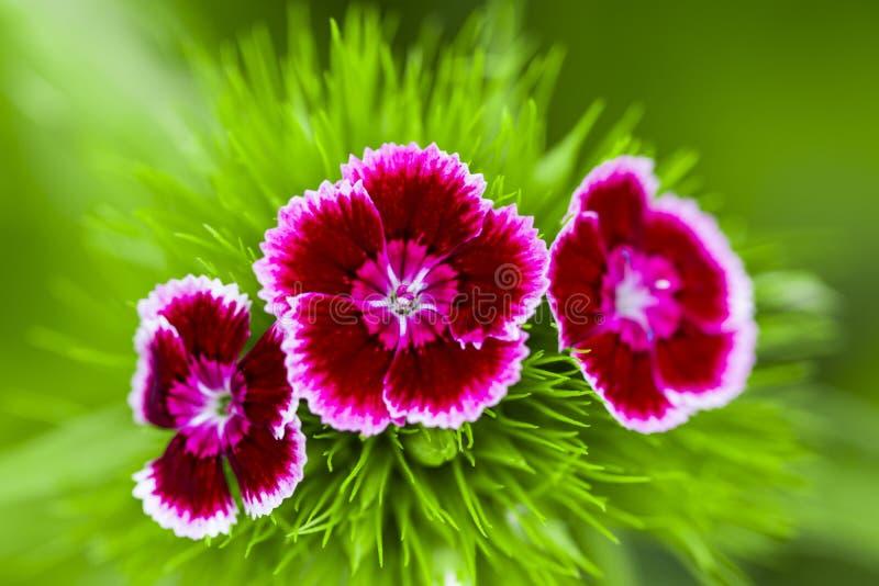 Romantiska rosa pioner i vårträdgård arkivfoton