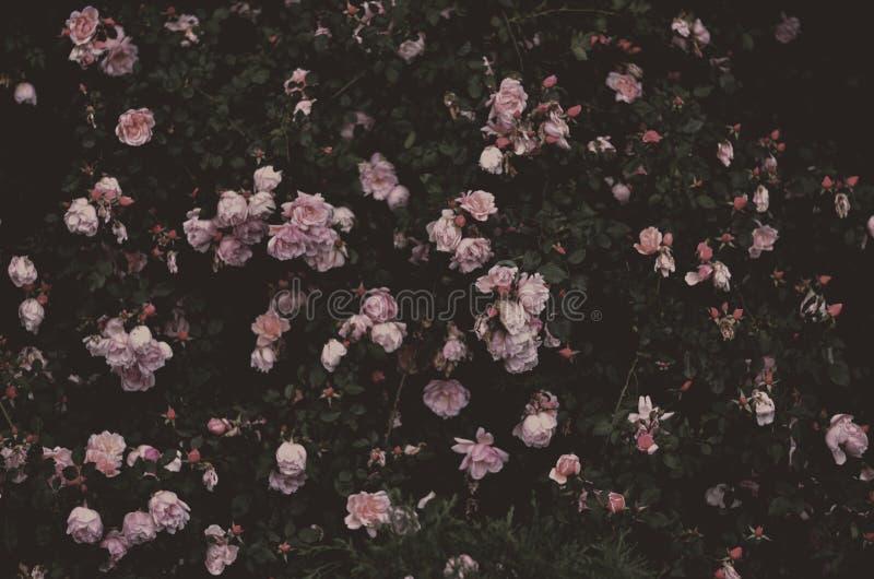 Romantiska rosor, tappningträdgård arkivbild