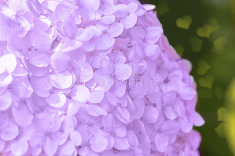 Romantyczna, miękka i piękna wzór menchii hortensja, kwitnie tło, selekcyjna ostrość zbli?enie zdjęcie stock