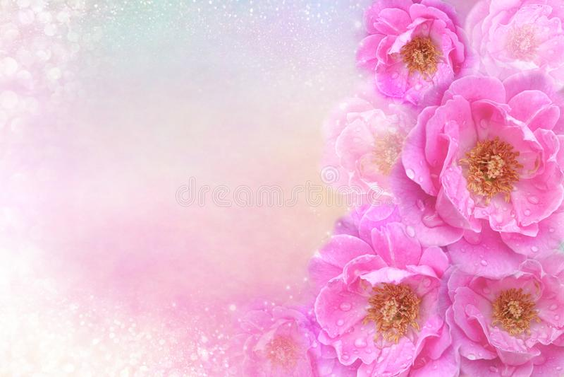 Romantyczne różowe róże kwitną granicę na miękkim błyskotliwości tle dla valentine lub ślubną kartę w pastelowym brzmieniu zdjęcie royalty free