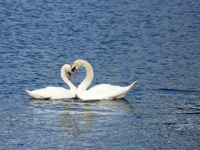 romantyczni łabędź obraz royalty free
