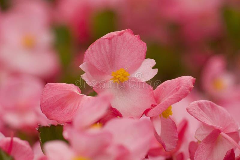 Romantyczni menchia kwiaty, lata crabapple kwiaty zdjęcie royalty free