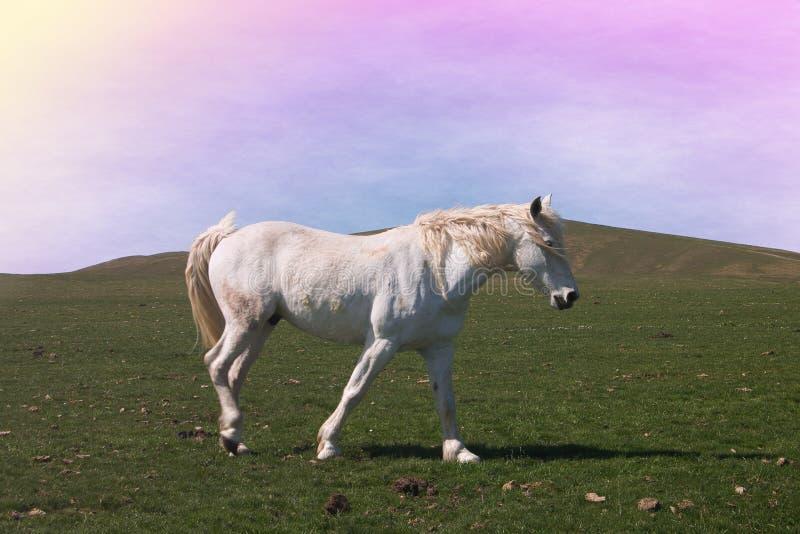 Romantyczny portret piękny biały koń przy zmierzchem obrazy stock