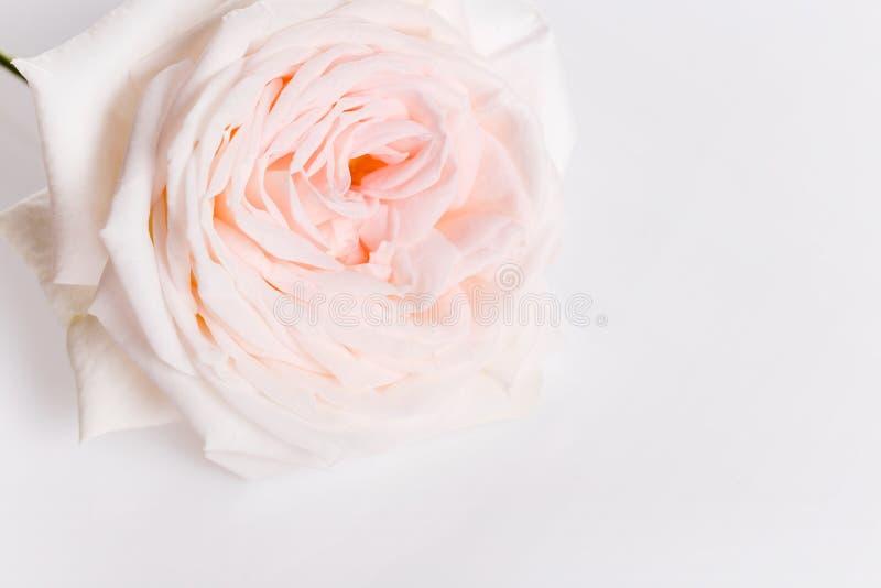 Romantyczny sztandar, delikatna biel menchii róża kwitnie w górę r zdjęcie stock