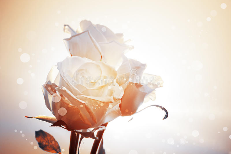 Romantyczny tło z trzy białymi różami
