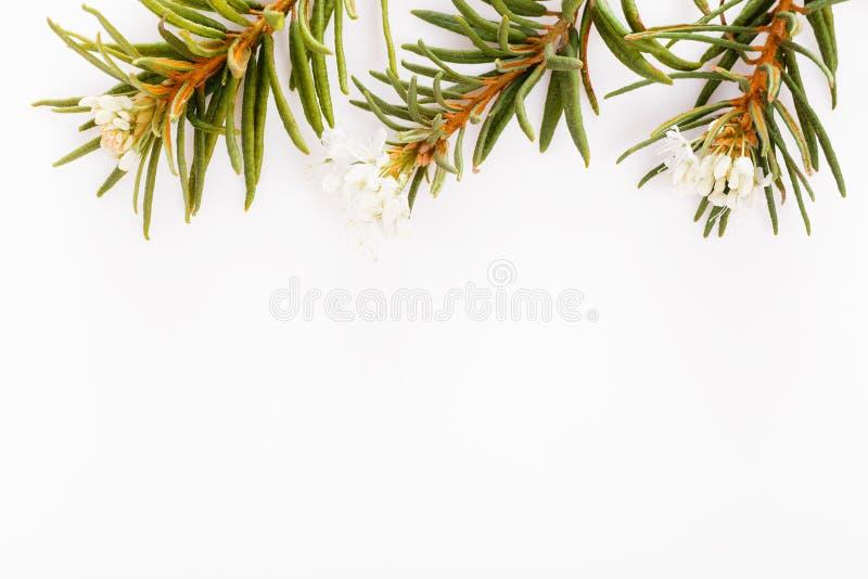 Romarin sauvage d'herbes m?dicinales sur un fond blanc image stock