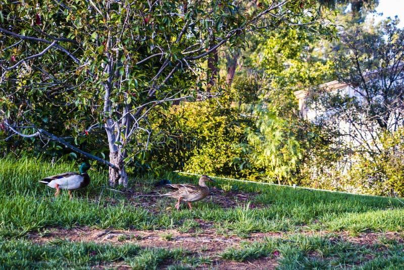 Romatic kaczki spacer obrazy royalty free