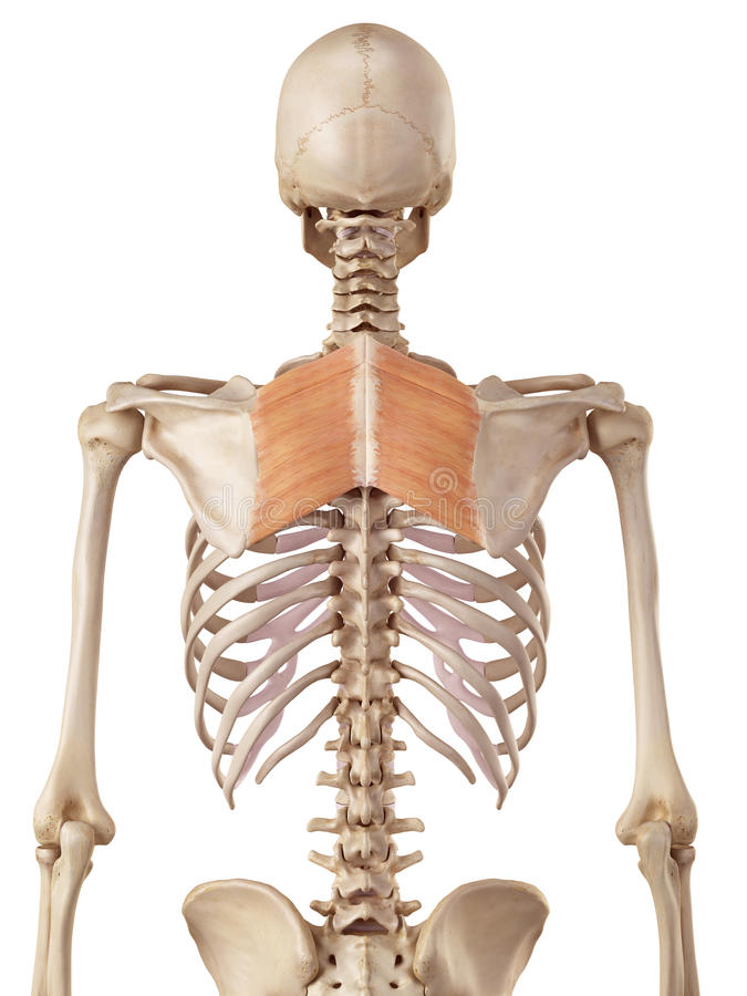 Romboidów mięśnie ilustracji