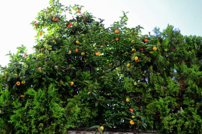 rome Colline d'Aventine, parc Savello, ` orange de jardin de ` photographie stock libre de droits