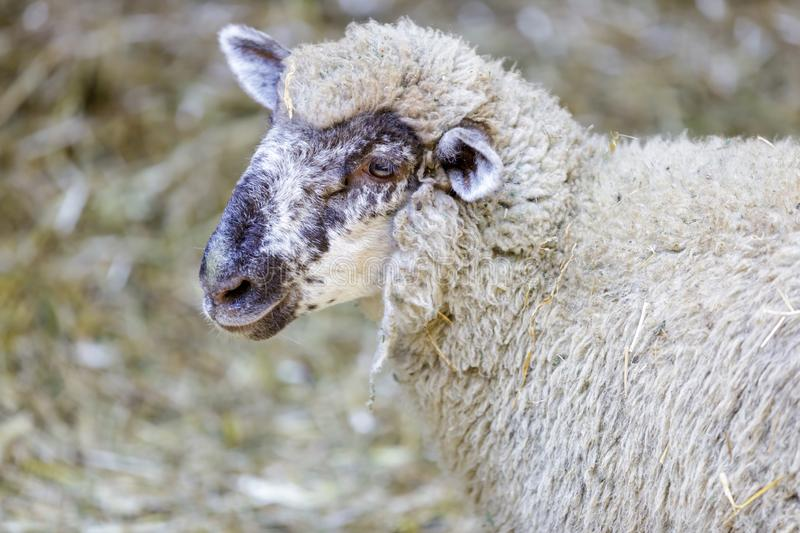 Domestic Sheep Ewe Adult. Romeldale Sheep profile view in a barn in Northern California, USA royalty free stock image