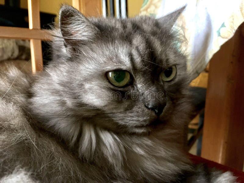 Romeo кот дамы стоковые фотографии rf