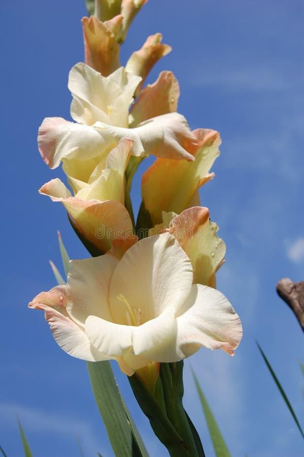Romige gladiolen royalty-vrije stock afbeelding