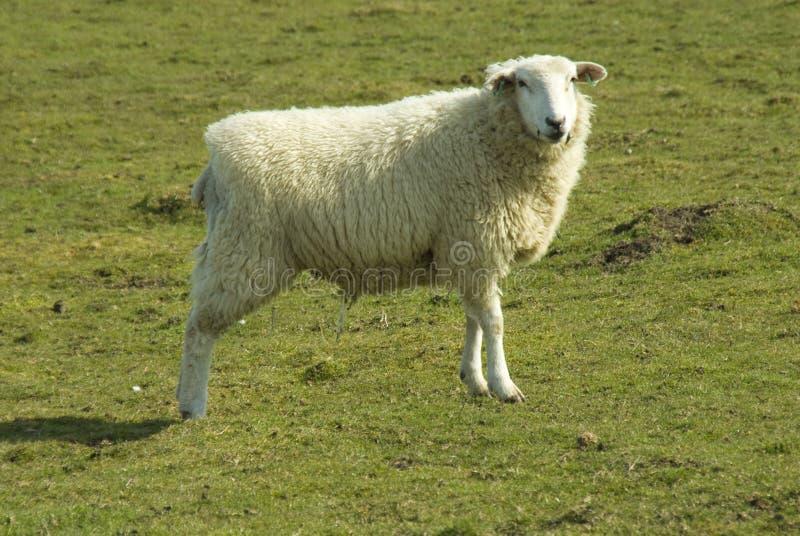 romney绵羊 库存照片
