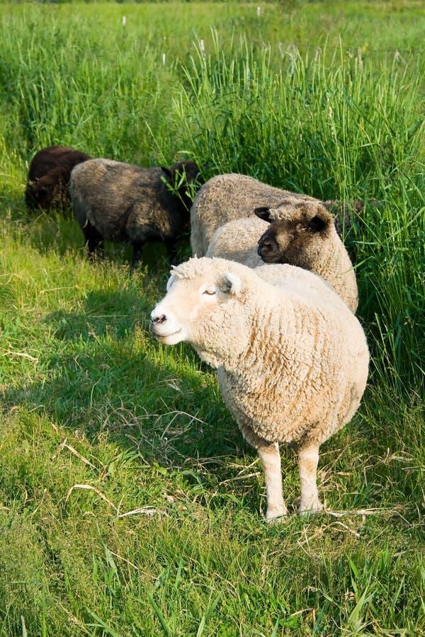 Romney Schafe im hohen Gras. stockbilder