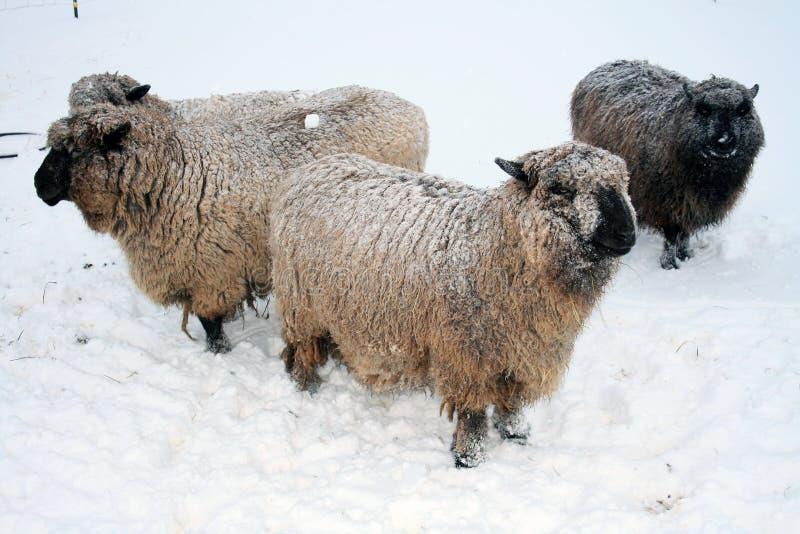 Romney Schafe im Schnee. lizenzfreie stockfotos