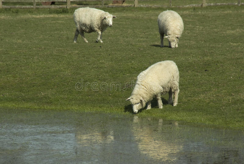 Download Romney Sheep stock image. Image of pets, farms, england - 13472827