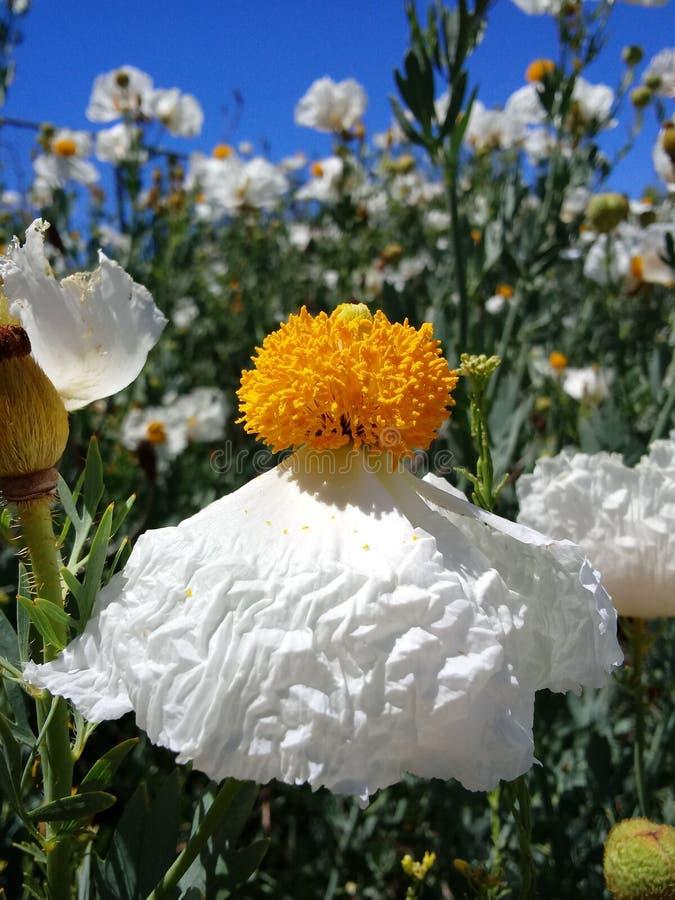 Romneya Coulteri Matilija Poppy Flower fotografía de archivo libre de regalías