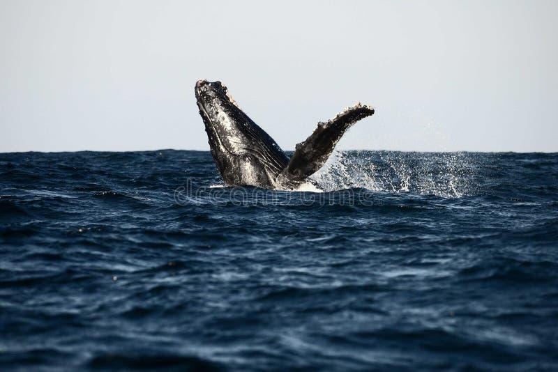 Rompendo a baleia fotos de stock royalty free