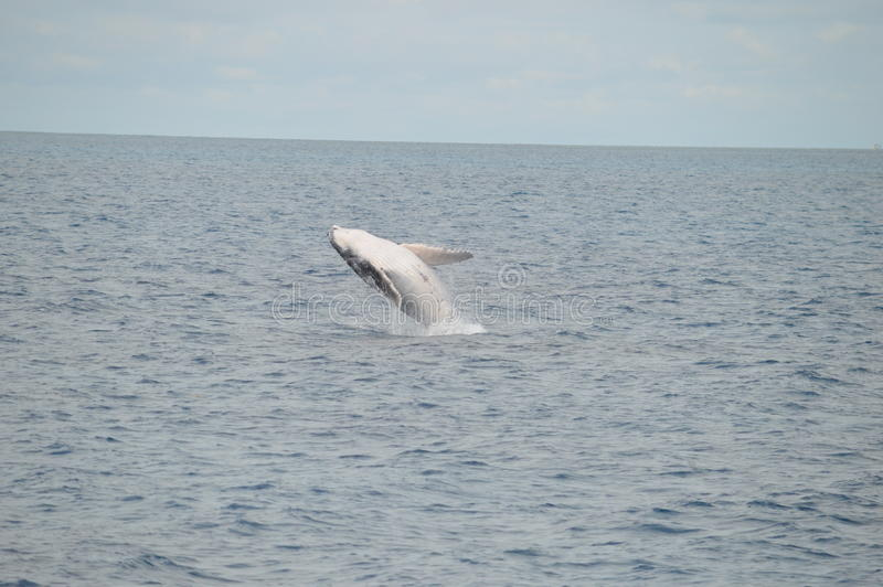 Rompendo a vitela da baleia foto de stock royalty free