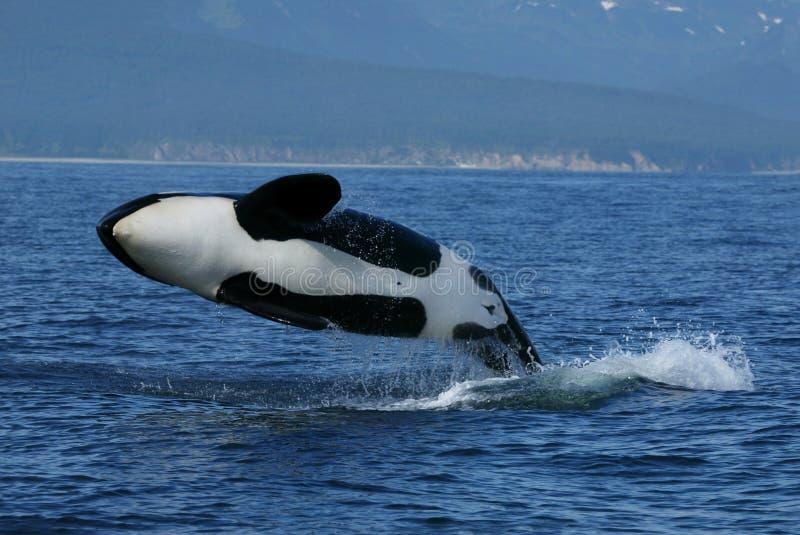 Rompimento da baleia de assassino foto de stock royalty free