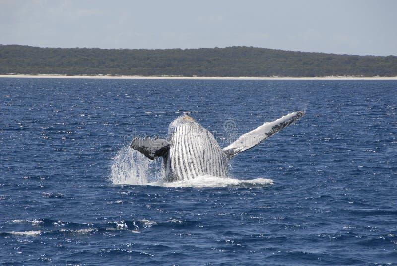 Rompimento da baleia de Humpback imagens de stock