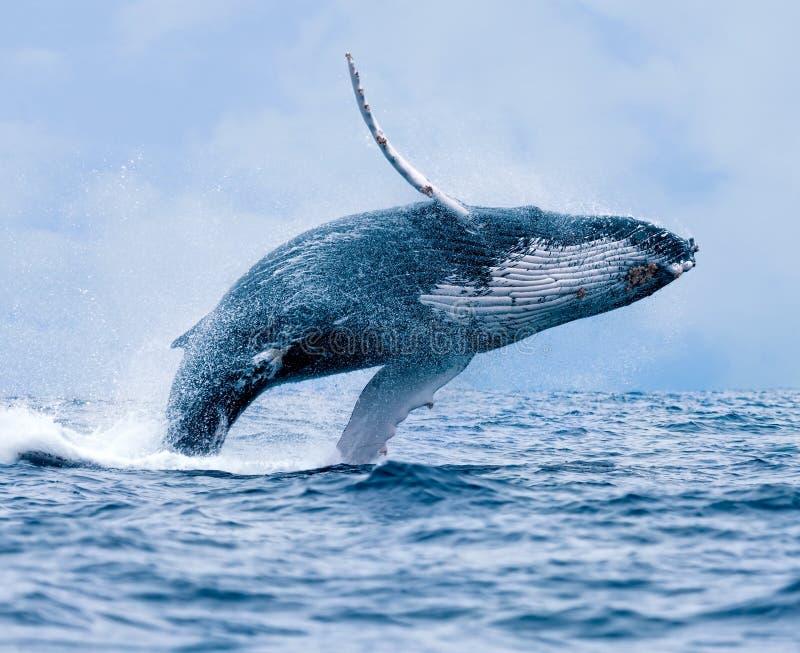Rompimento da baleia de Humpback fotografia de stock royalty free