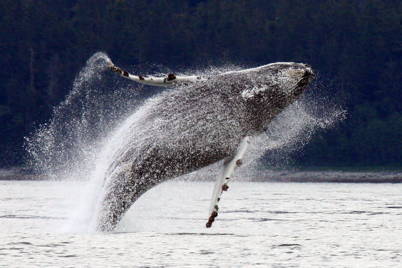 Rompimento, pulando a baleia de Humpback do Alasca imagens de stock