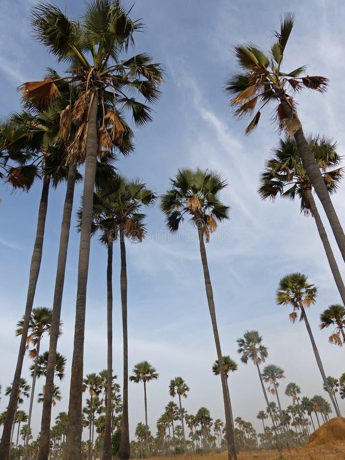 Ron Palm-Bäume, Yayame, Senegal lizenzfreies stockfoto