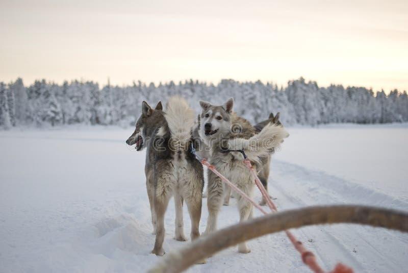 Ronco - cães de trenó imagens de stock royalty free