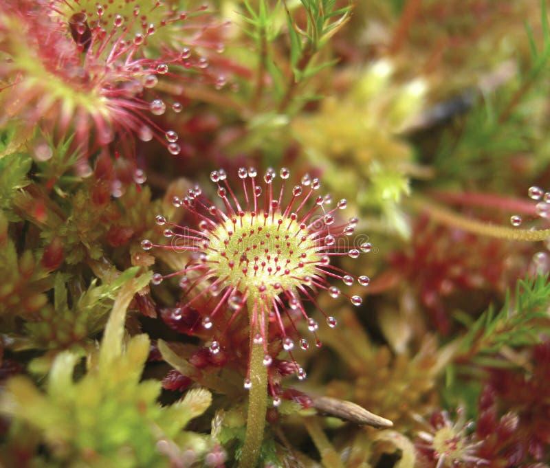 Rond-bladzonnedauw, Drosera-rotundifolia, in peatmoss royalty-vrije stock afbeeldingen
