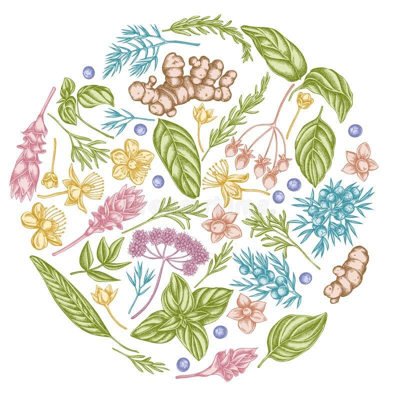 Rond bloemenontwerp met pastelkleurengelwortel, basilicum, jeneverbes, hypericum, rozemarijn, kurkuma vector illustratie
