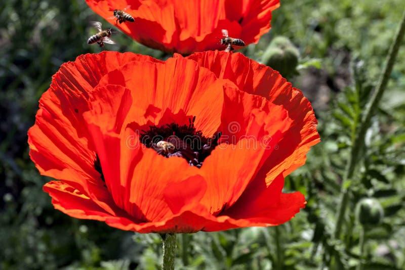 Rond de bloemrijke papaver vliegende bijen stock foto