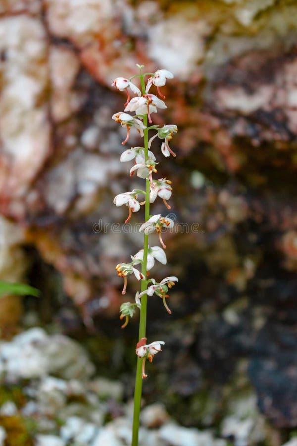 Rond-leaved wintergreen Pyrola-de familie van de rotundifoliaheide op natuurlijke bokehachtergrond stock foto
