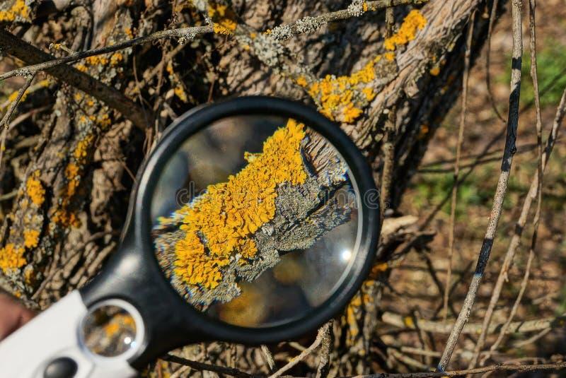 Rond meer magnifier verhogingen bruin mos op een boomtak royalty-vrije stock afbeelding
