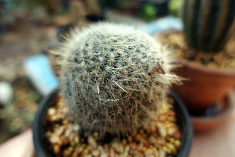 Ronde de cactus dichte omhooggaand van het cactusvat stock afbeelding