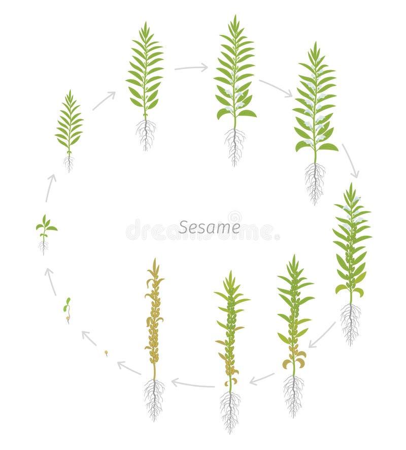 Ronde gewassenstadia van Sesam Groeiende Sesaminstallatie Ook geroepen benne Sesamum Indicum Vector vlakke Illustratie cirkelanim stock illustratie
