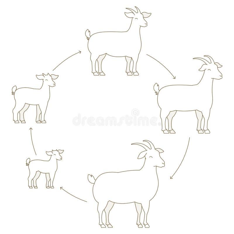 Ronde Stadia van de reeks van de geitengroei dierlijk Landbouwbedrijf De productie van de het fokkenwol het opheffen Het lam groe stock illustratie