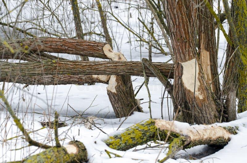 Rongé outre des arbres photographie stock