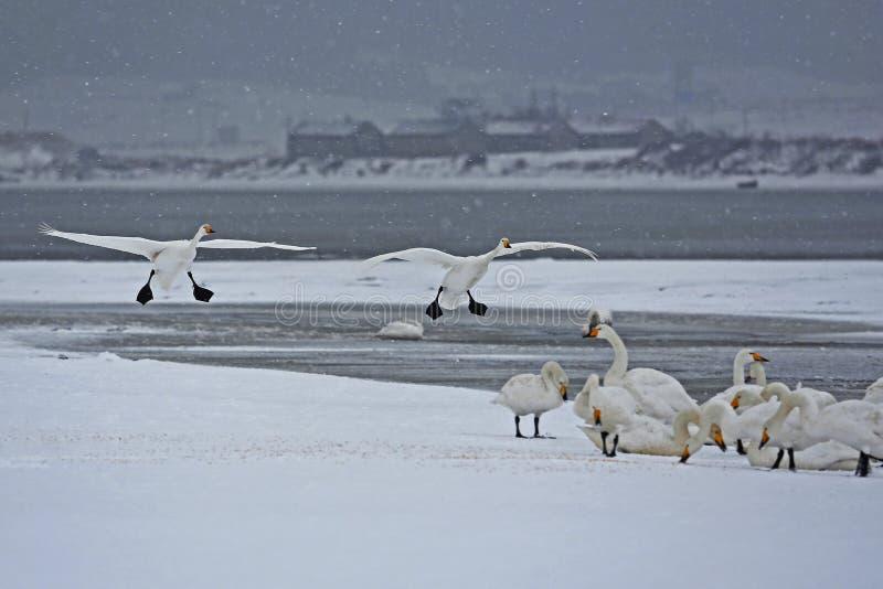 Rongcheng łabędź jezioro zdjęcie stock