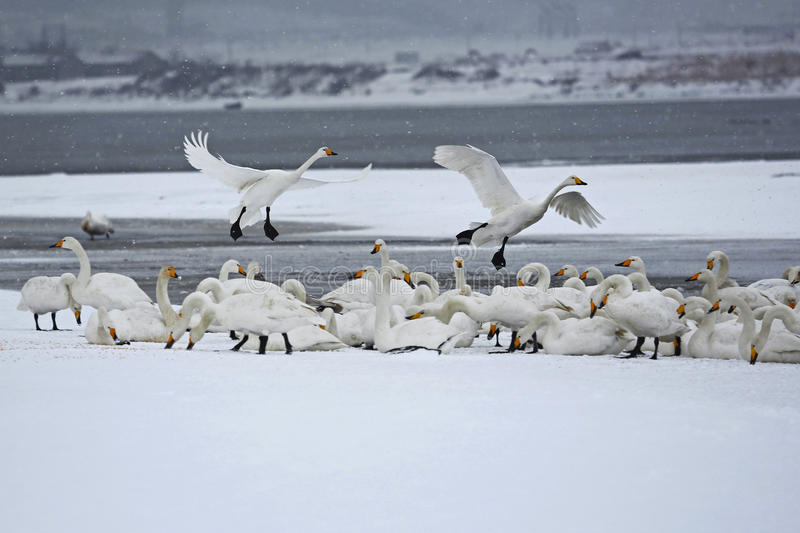 Rongcheng swan lake. Is located in the eastern shandong peninsula, is located in north latitude 36 ° 43 'to 37 ° 27', longitude 122 ° 09 '- 122 ° 42 stock images