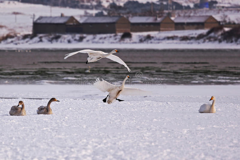 Rongcheng swan lake. Is located in the eastern shandong peninsula, is located in north latitude 36 ° 43 'to 37 ° 27', longitude 122 ° 09 '- 122 ° 42 stock image