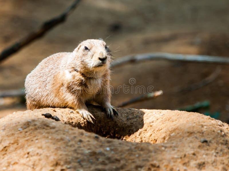 Rongeur de chien de prairie sur une terre poussiéreuse sèche Les Etats-Unis, Amérique du Nord photo libre de droits