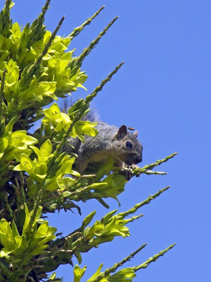 Ronzio dello scoiattolo immagine stock libera da diritti