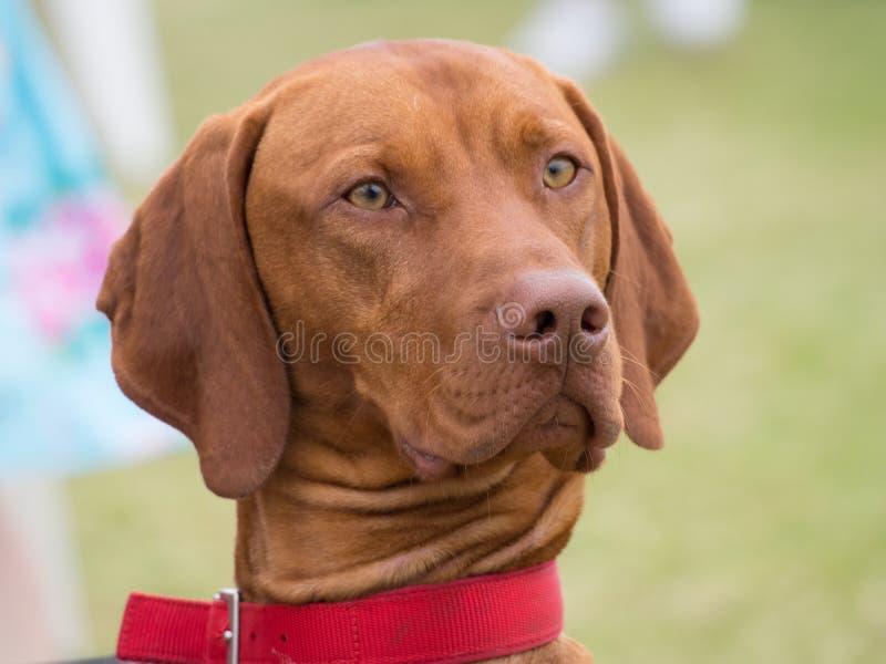 Rood been coonhound stock afbeelding