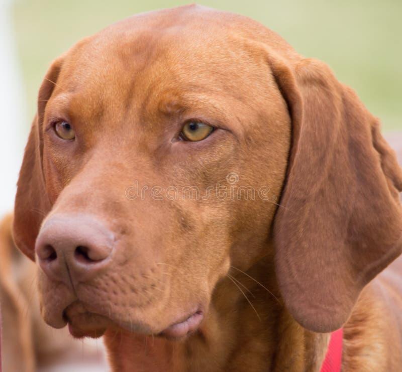 Rood been coonhound stock fotografie