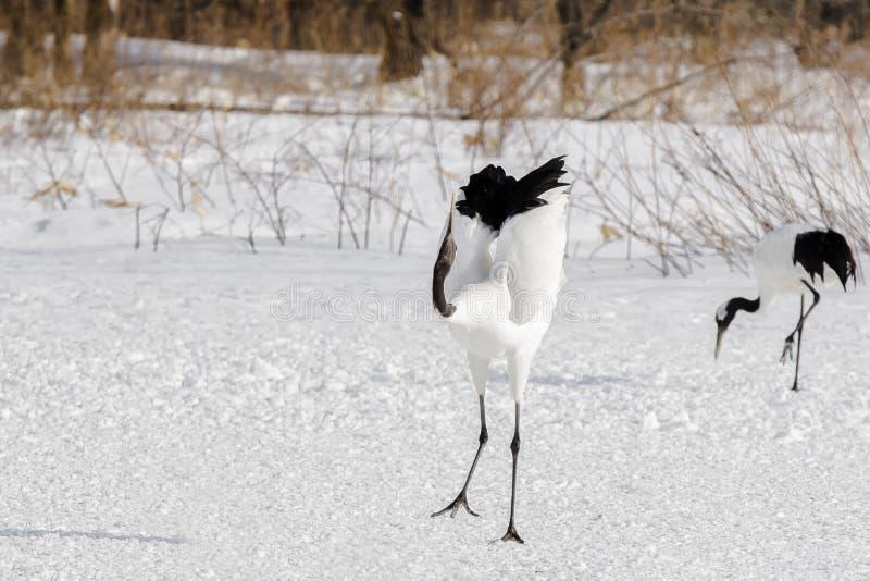 Rood-bekroond/Japans Crane Ballet royalty-vrije stock fotografie