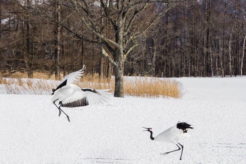 Rood-bekroond/Japans Crane Threat Displays stock afbeeldingen