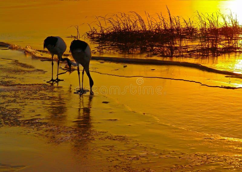 Rood-bekroonde kranen bij zonsondergang royalty-vrije stock fotografie