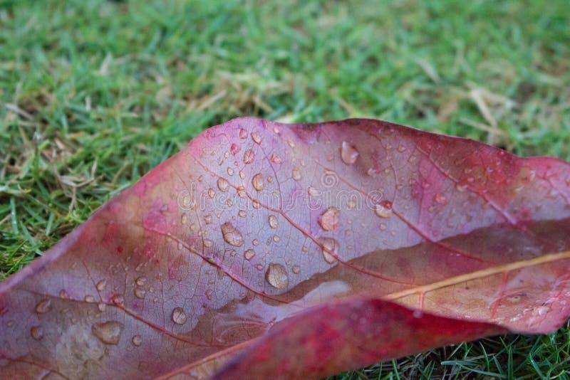 Rood blad met regendaling op groene grasachtergrond De aard van de herfst Lange schaduwen en blauwe hemel Aard dichte omhooggaand stock afbeelding