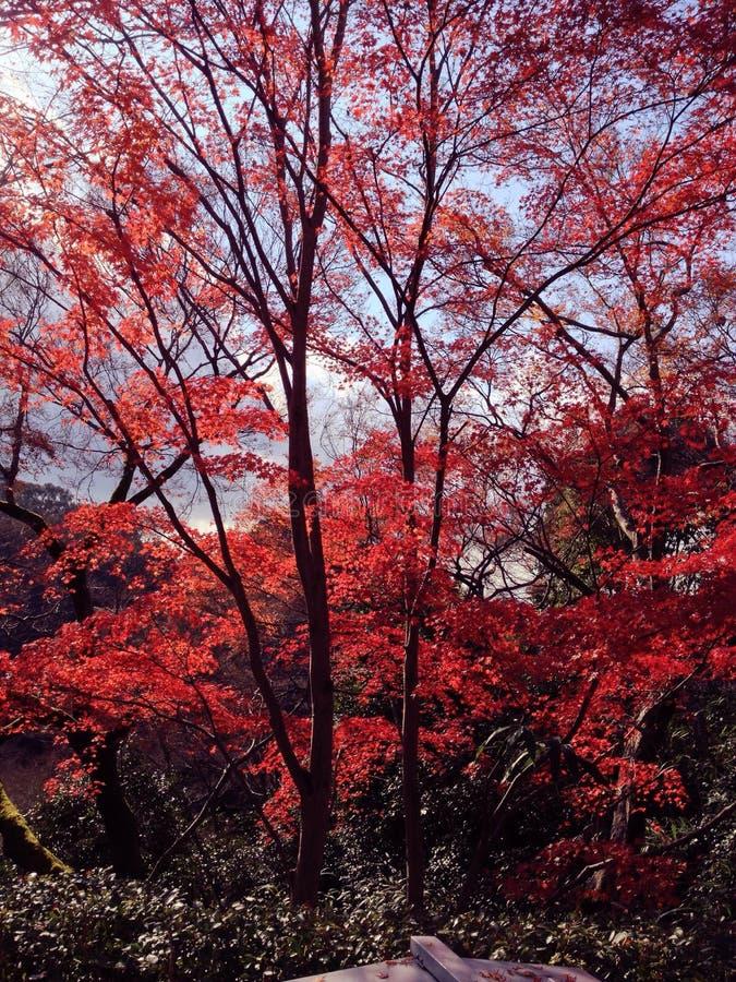 Rood bladerenbehang stock foto's